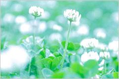 シロツメクサが幻想的に咲いている様子の写真