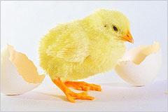 卵から出てきたひよこの写真