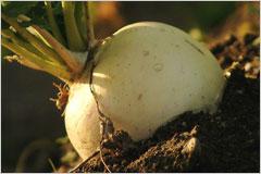 畑に植えられたカブのような野菜の写真