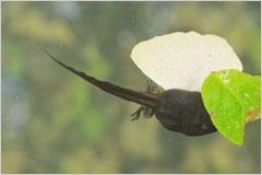 オタマジャクシが一匹泳いでいる写真