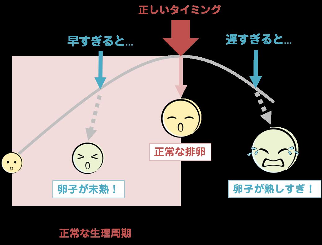 卵子の成長と排卵のタイミングを示した図